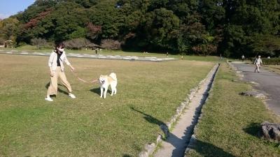 大館から福岡に来た秋田犬「あこ」ちゃん、大宰府政庁跡へ