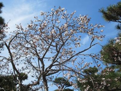 県庁中庭の桜が咲きました!
