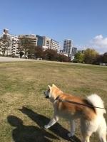 大館から秋田犬を連れて福岡へ
