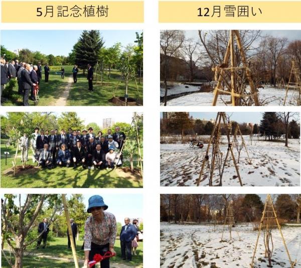 130周年記念植樹の雪囲い